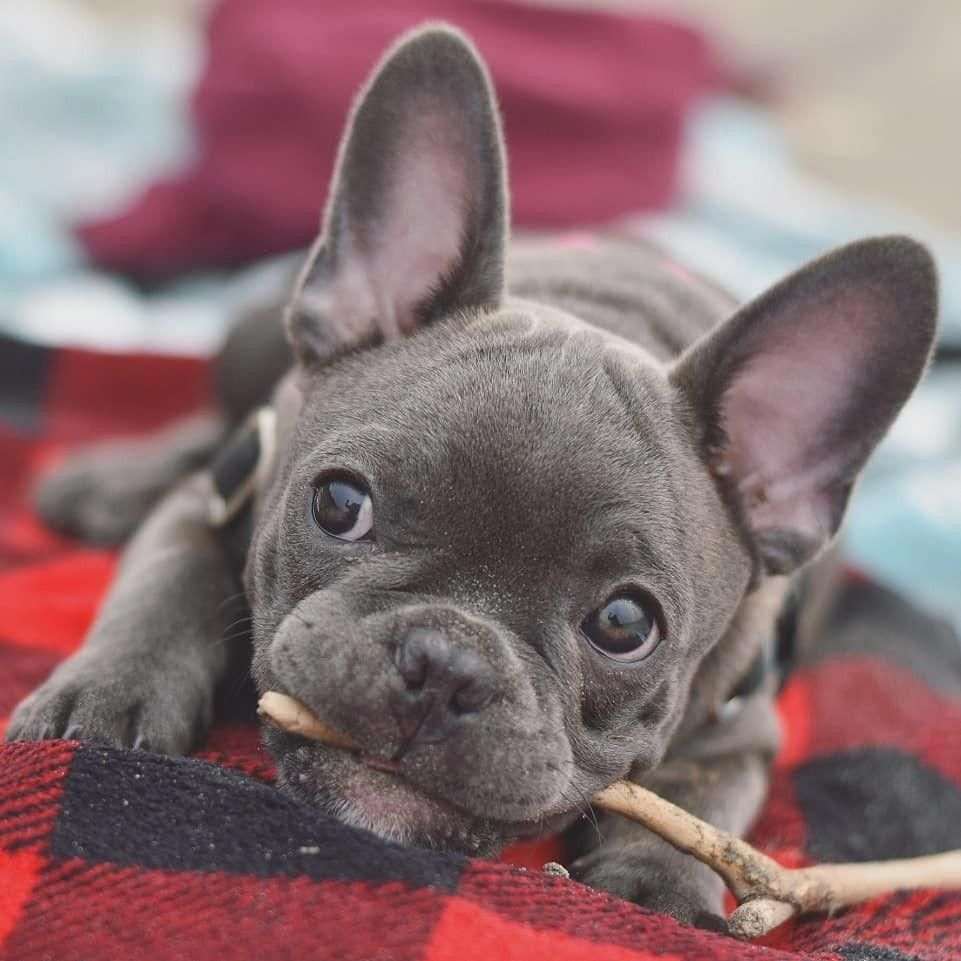 French Bulldog Playful And Smart French Bulldog Blue Cute French Bulldog French Bulldog Dog