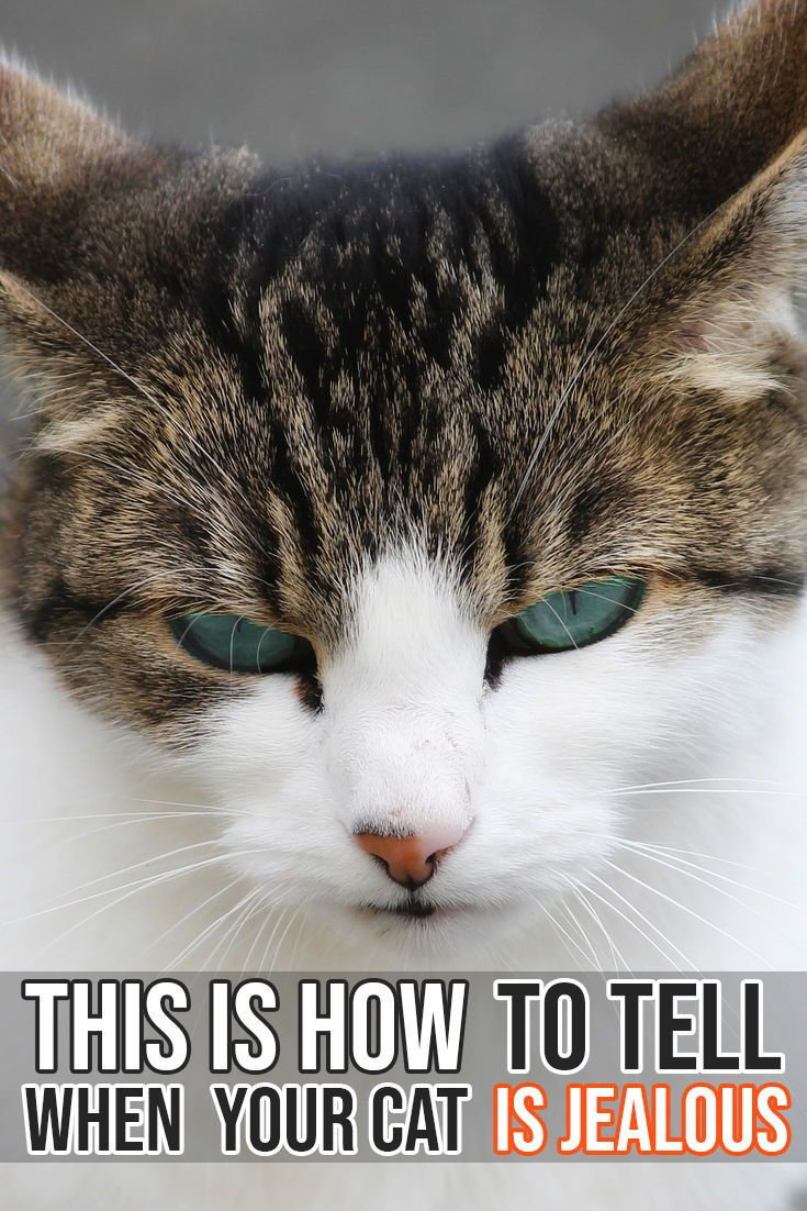 Learn how to tell if your cat is jealous at other people