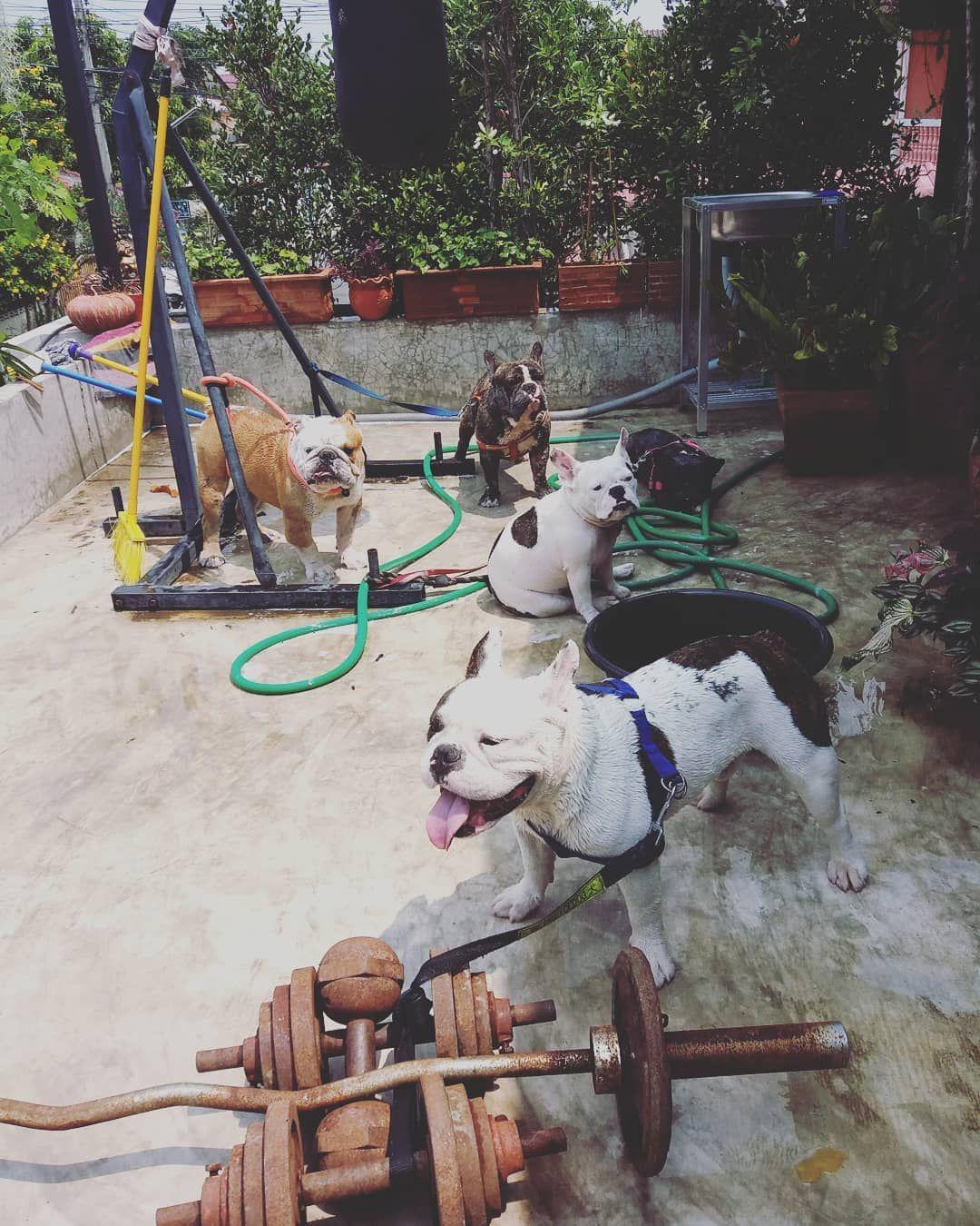 Wontonthebulldog Wonton Bulldog Bulldogs Bulldogsofinstagram