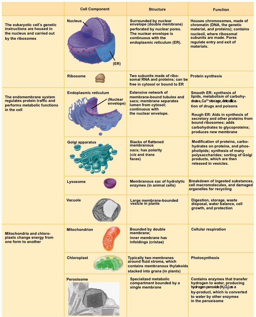 worksheet Cell Organelles And Their Functions Worksheet organelle with its function bing images biology pinterest school images