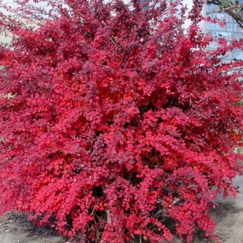berberis thunbergii atropurpurea nana arbusti cu frunzis superb pinterest plants gardens. Black Bedroom Furniture Sets. Home Design Ideas