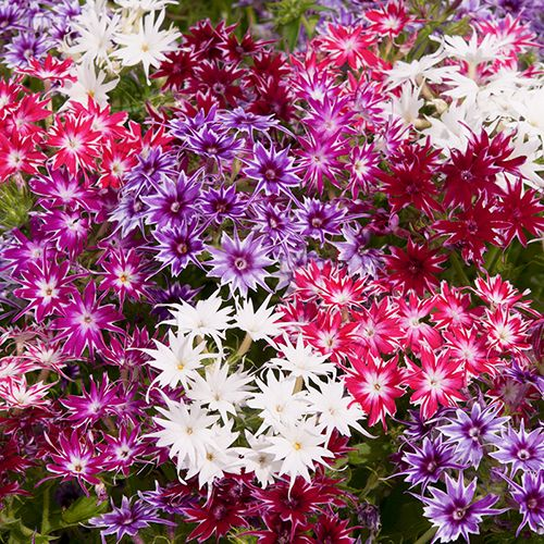 Phlox Horticultural Pinterest Perennials And Plants