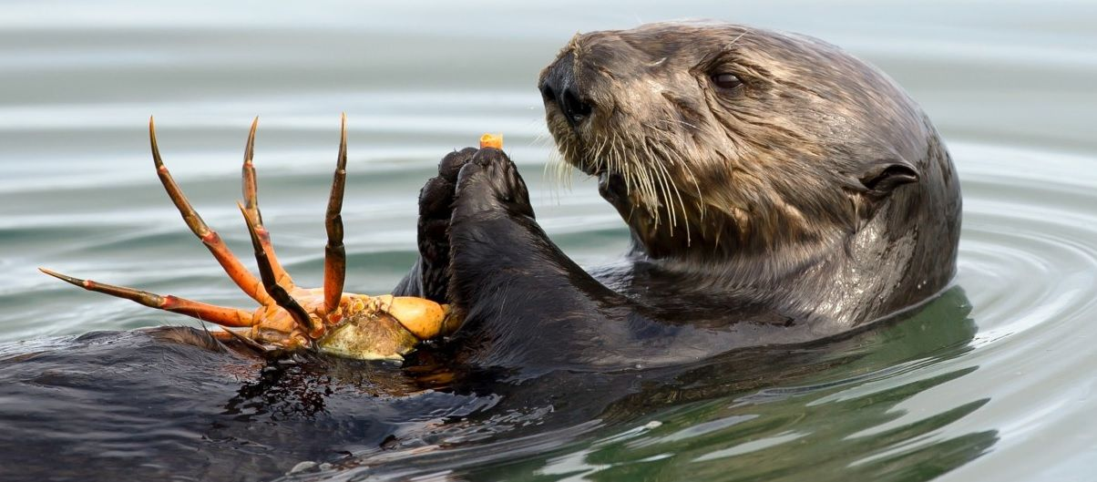SEA OTTER EATING CRAB | Otter, Dieren |Sea Otters Eating Bears
