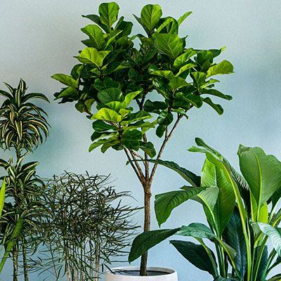Image gallery large houseplants - Tall house plants ...
