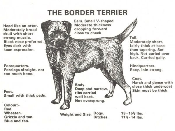 The Border Terrier Border Terrier Puppy Border Terrier Terrier