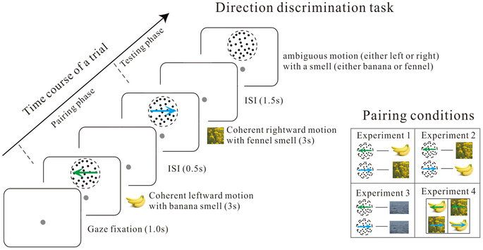 Smelling directions: Olfaction modulates ambiguous visual motion ...