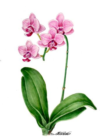 how to draw an orchid plant