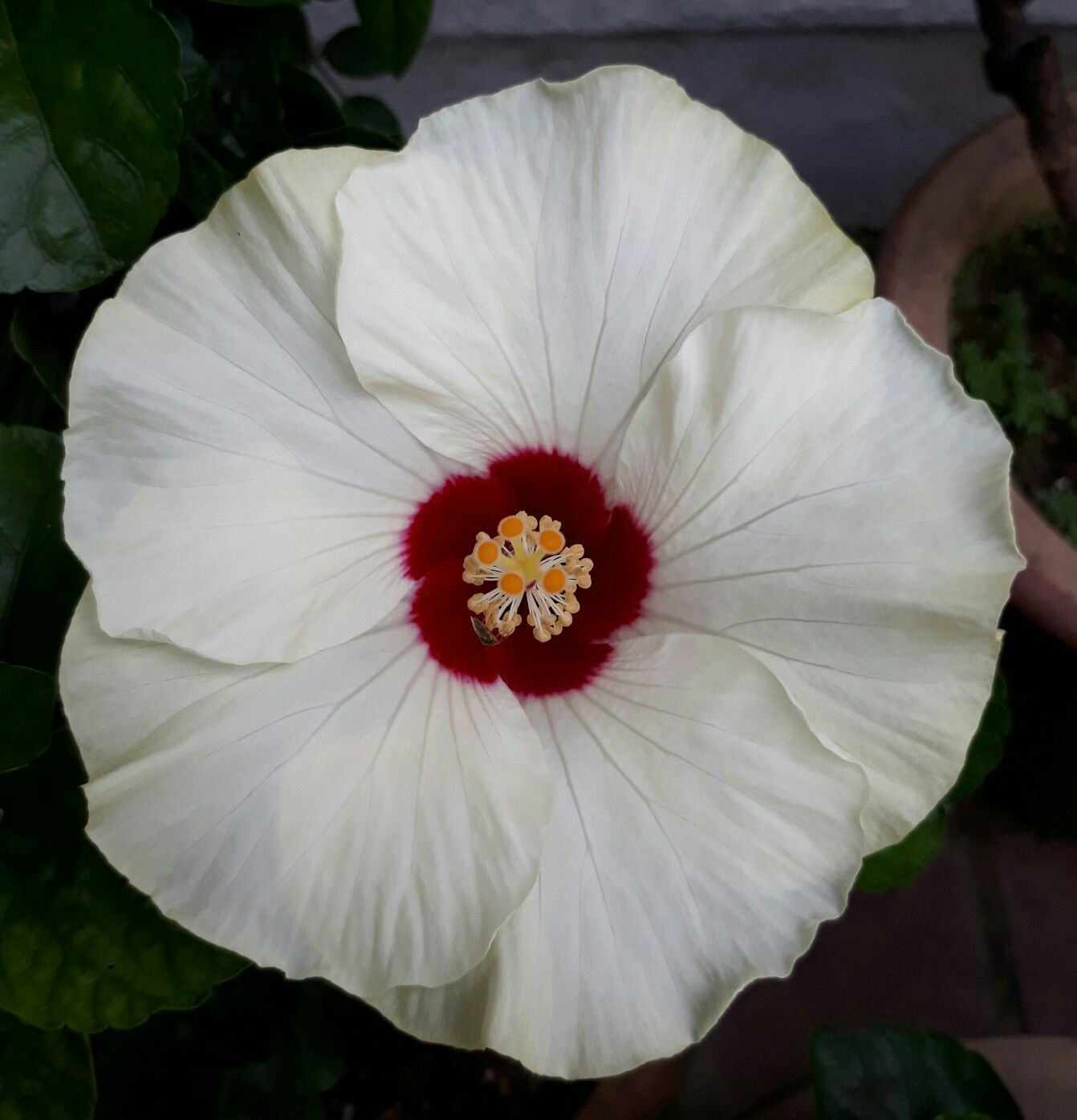 White and Red Hibiscus. Hibiscus flowers, Flower nursery