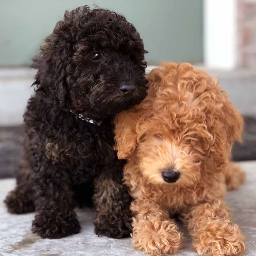 Teacup Labradoodle Mini Labradoodle Puppies For Sale Black