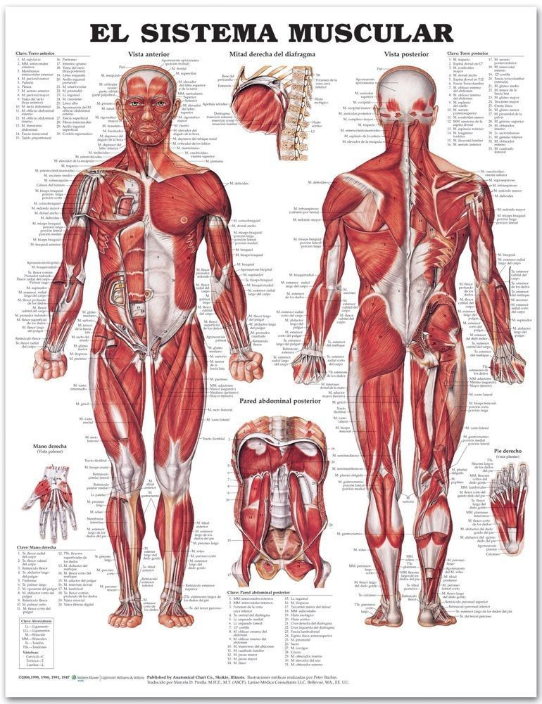 The Muscular System In Spanish (El Sistema Muscular) 2nd Edition ...