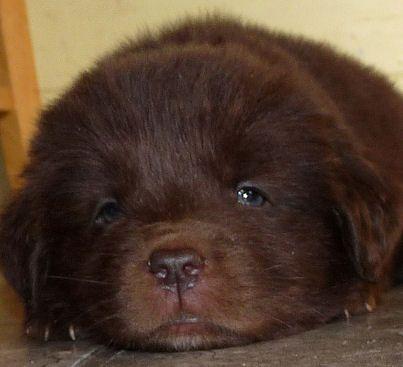 Aawwwwww Little Bear From Tenderheart Newfoundlands Newfoundland Dog Dog Love Furry Friend