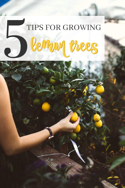 5 Easy Tips For Growing Lemon Trees Growing Lemon Trees