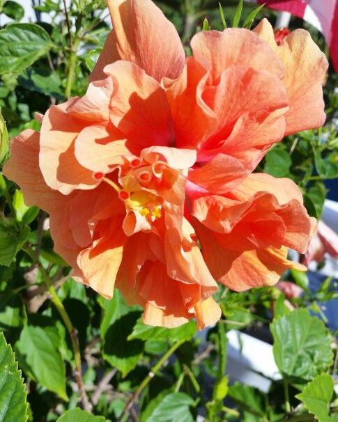 Double Orange Hibiscus