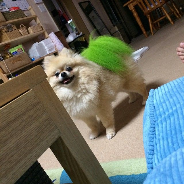 Pomeranian with a green tail puff! by ssgaisou on Instagram
