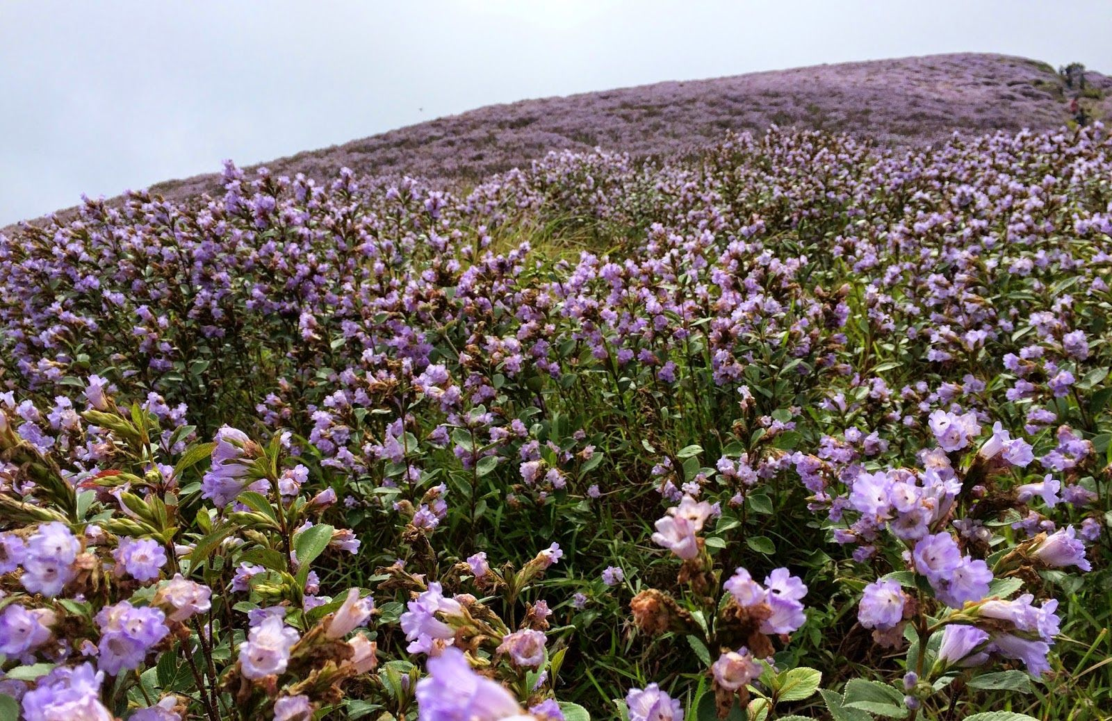 Image result for neelakurinji strobilanthes kunthiana