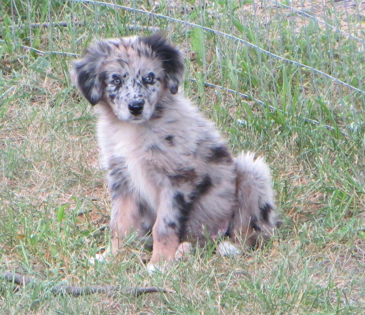 Border Aussie Australian Shepherd Border Collie Puppy