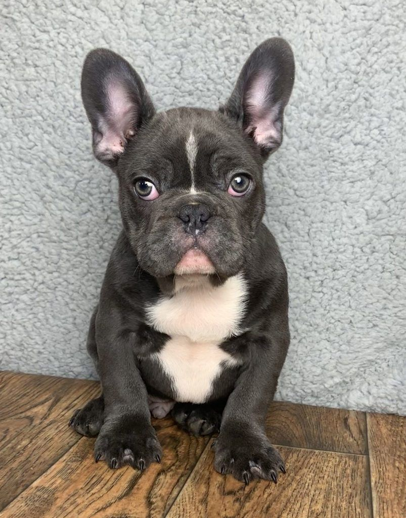Bennett Male Akc French Bulldog 3500 Bulldog Puppies French