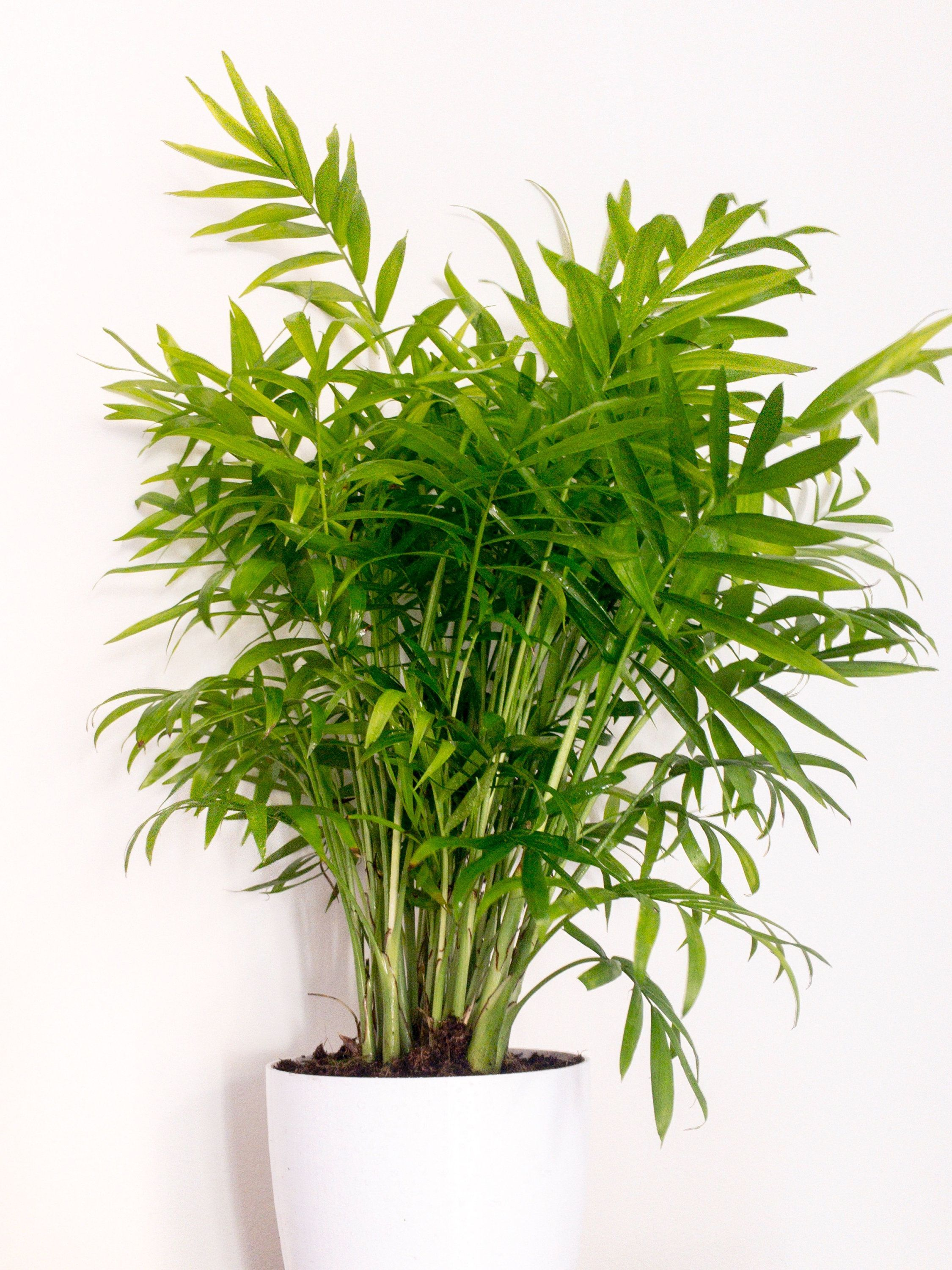 Grown Golden Cane Palm Areca Palm Air Purifying Indoor Plant