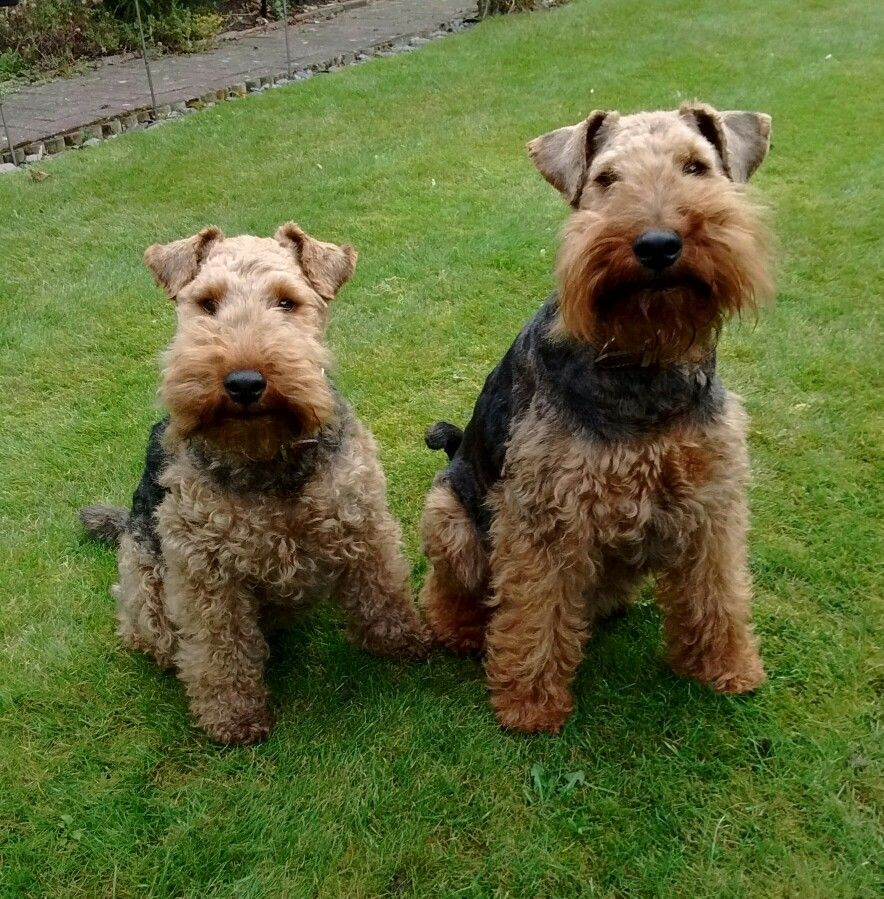 George Tess Welsh Terriers With Images Welsh Terrier Terrier Airedale Terrier
