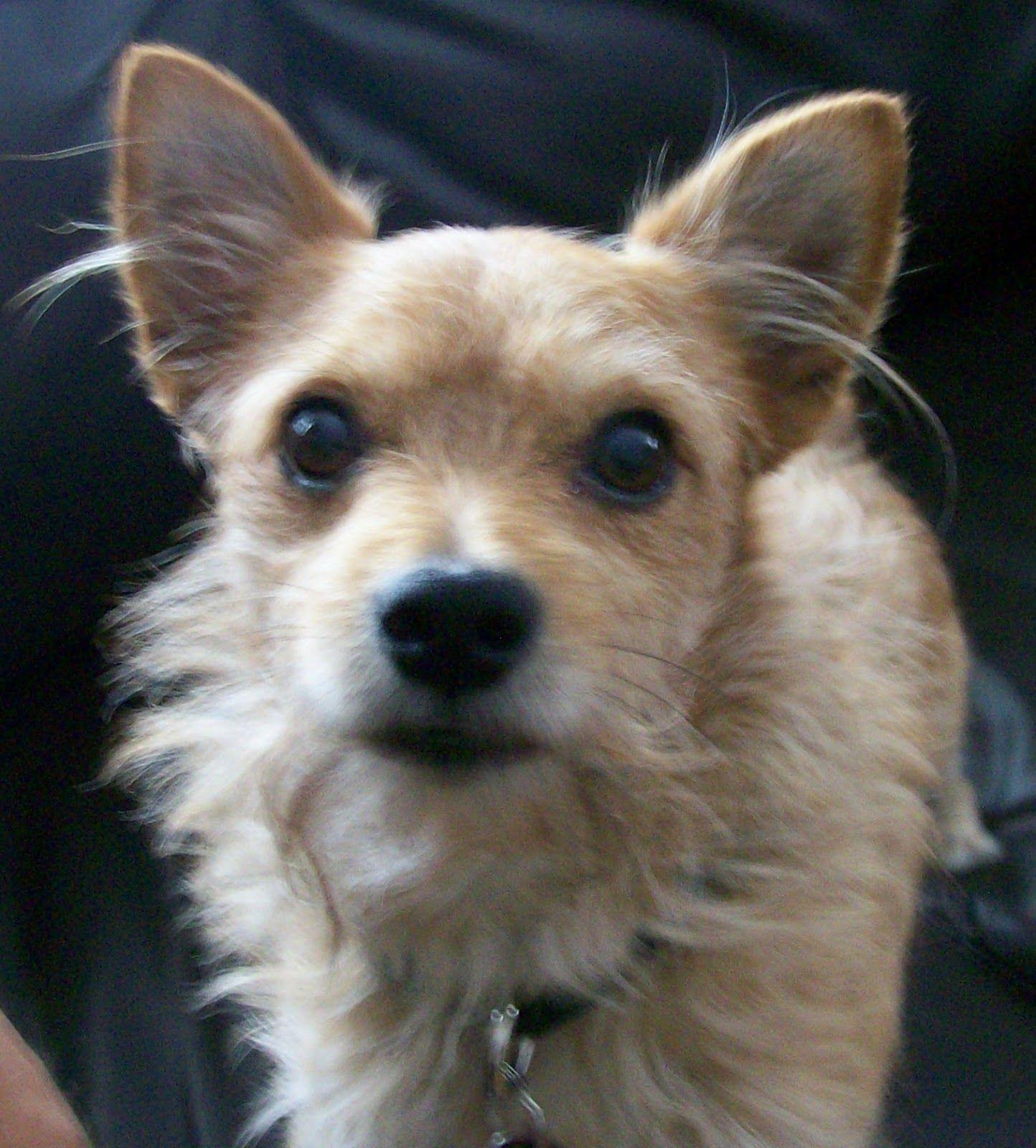 Pics photos dachshund chihuahua dog mix dogs pictures photos pics - Chihuahua Yorkie Mix Dogs Looks Just Like Pnut