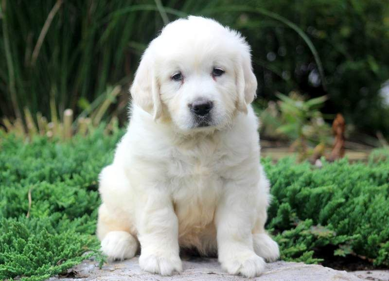 Pudge Dogs Golden Retriever Golden Puppy Puppies For Sale
