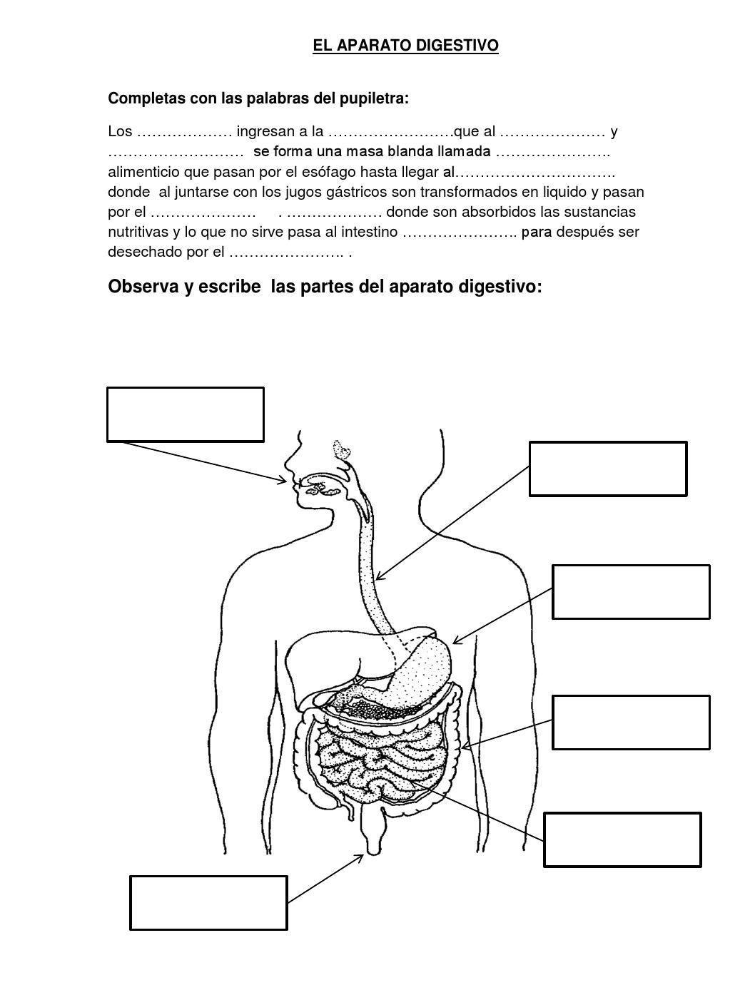 Ficha De Aplicaccion Del Sistema Digestivo Sistema Digestivo