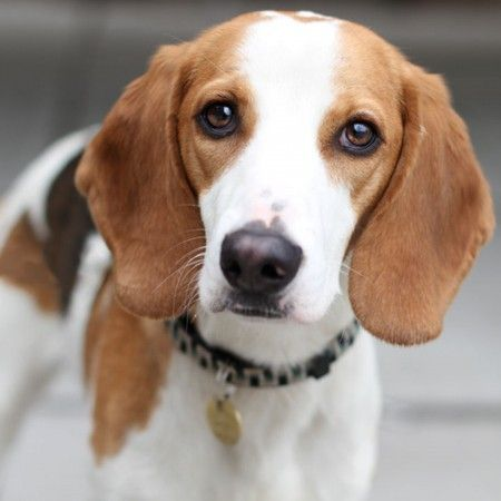 Know About American Foxhound Dog Breed Petsworld Dogbreed