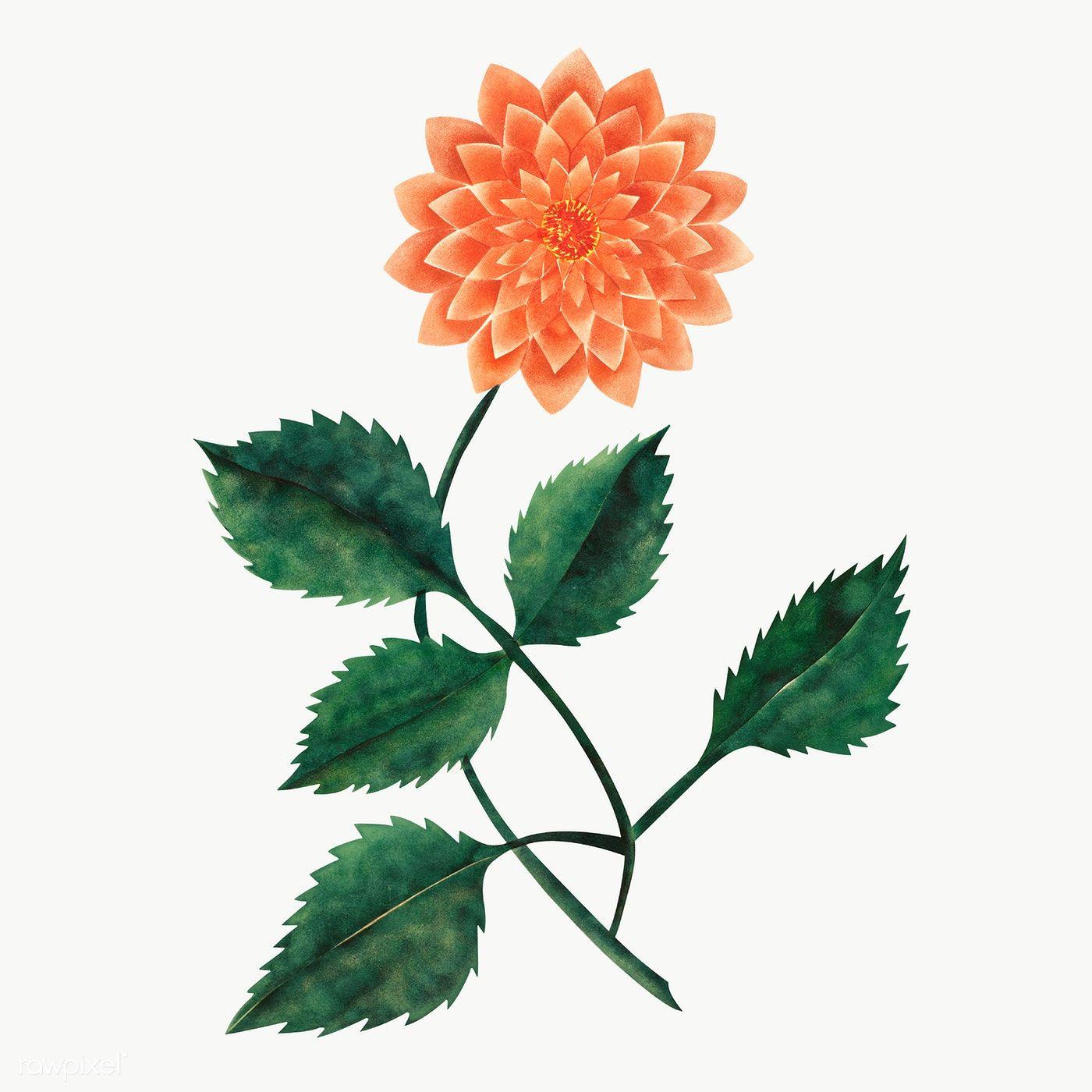 Download Premium Png Of Dahlia Flower Vintage Illustration Transparent Png ในป 2020