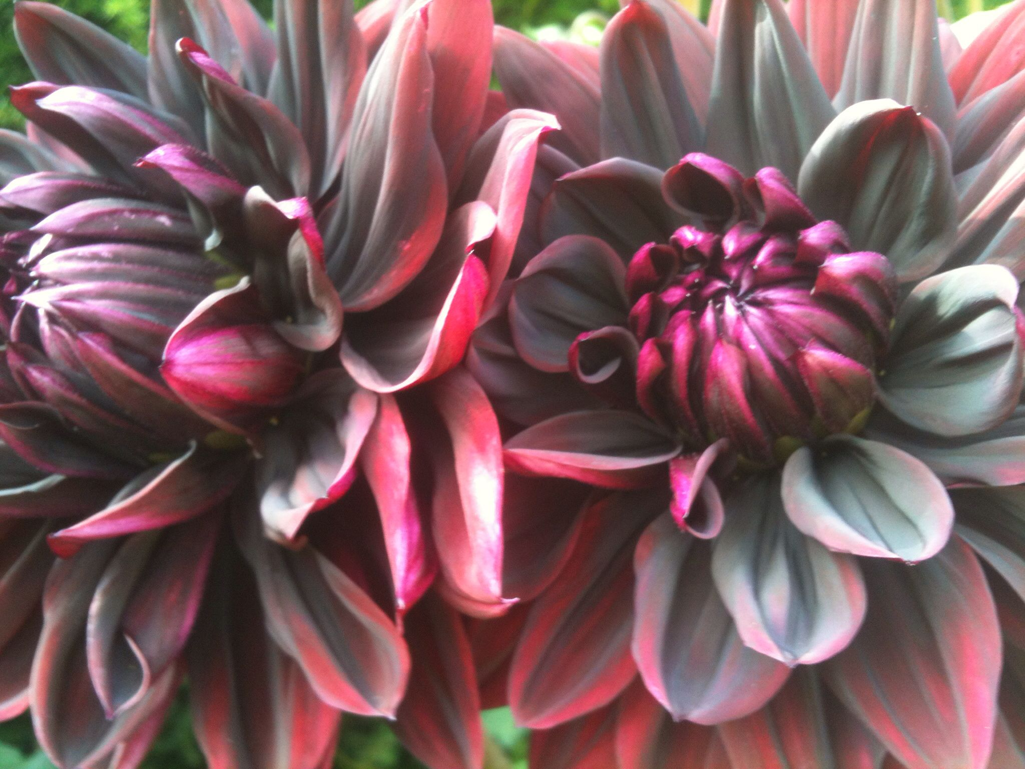 I just find the black dahlia flower stunning the petals look like i just find the black dahlia flower stunning the petals look like fabric izmirmasajfo Gallery
