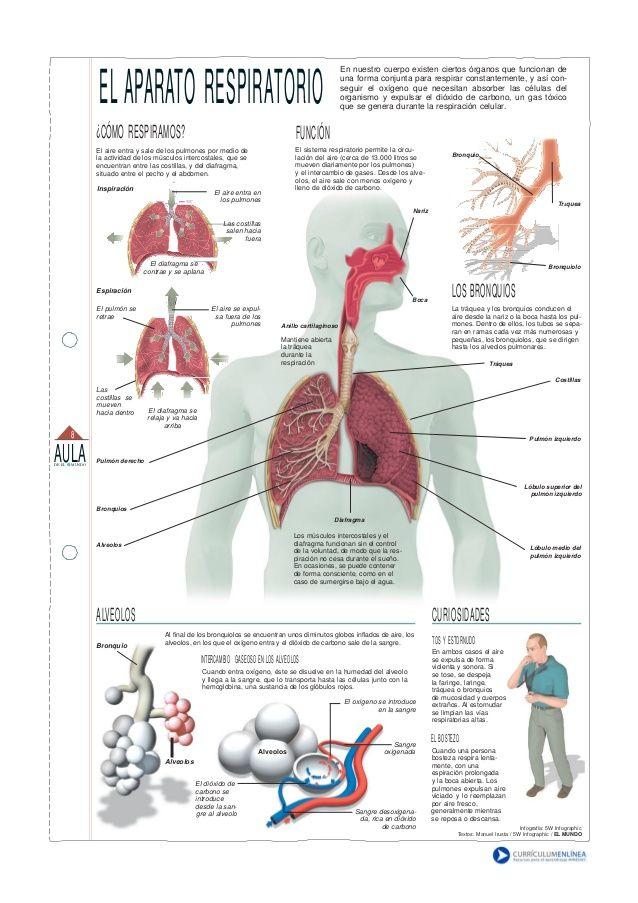 El aparato respiratorio o sistema respiratorio, es el conjunto de ...