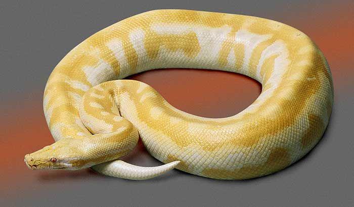 Lavender Albino Blood Python Snakes I Like Pinterest