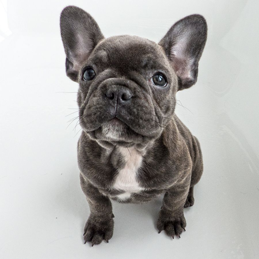 Blue French Bulldogs Breed Information Price Facts Loyal Or Not Where To Buy Cani Animali