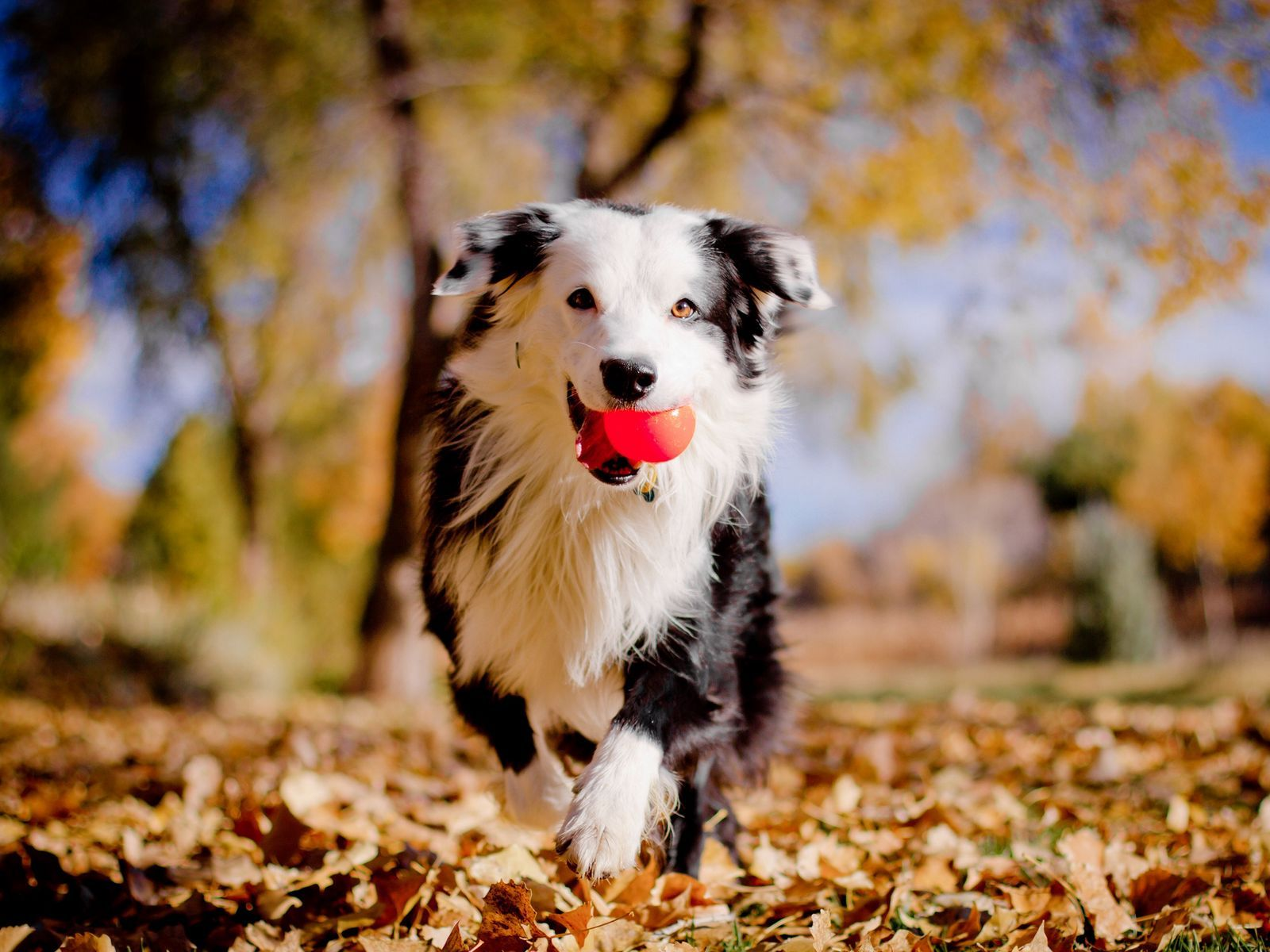 Cool Collections Of Dark Brown Wallpaper Borders For Desktop Laptop And Mobiles Download Brown Border Collie Stock Photo Dog Tricks Easy Dog Skin Pet Training
