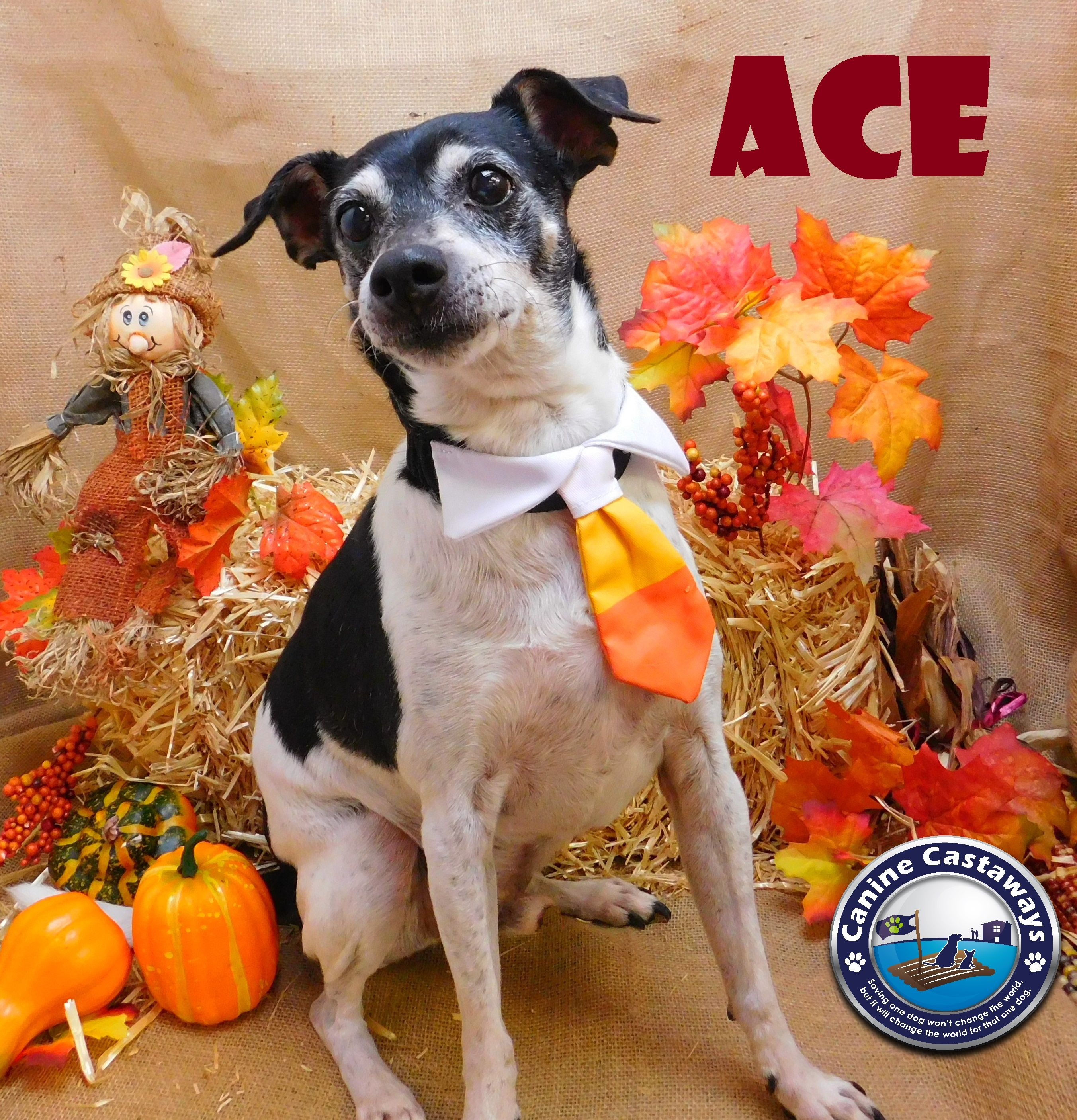 Rat Terrier dog for Adoption in Arcadia, FL, USA. ADN