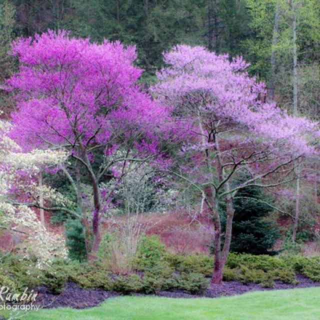 Biltmore Gardens With Its Lovely Redbud Trees Redbud Tree Red