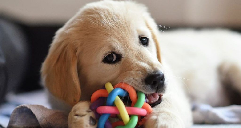 5 Hacks To Survive Puppy Teething Puppy Teething Free Puppies