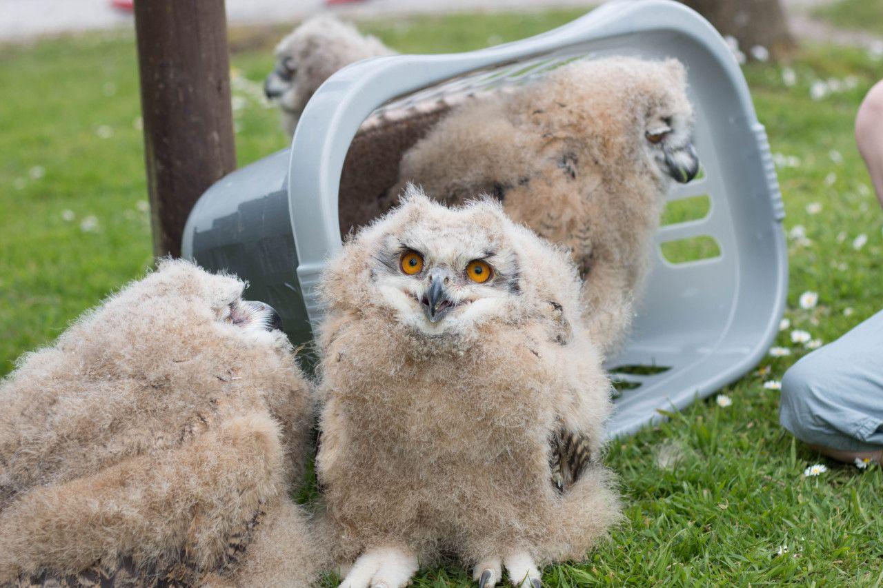 "hearthawk "" theraptorcage "" Eurasian Eagle Owl chicks"