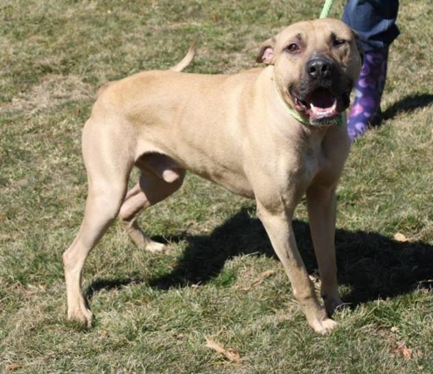 Adopt Mason on Pets, Dogs, Boxer mix