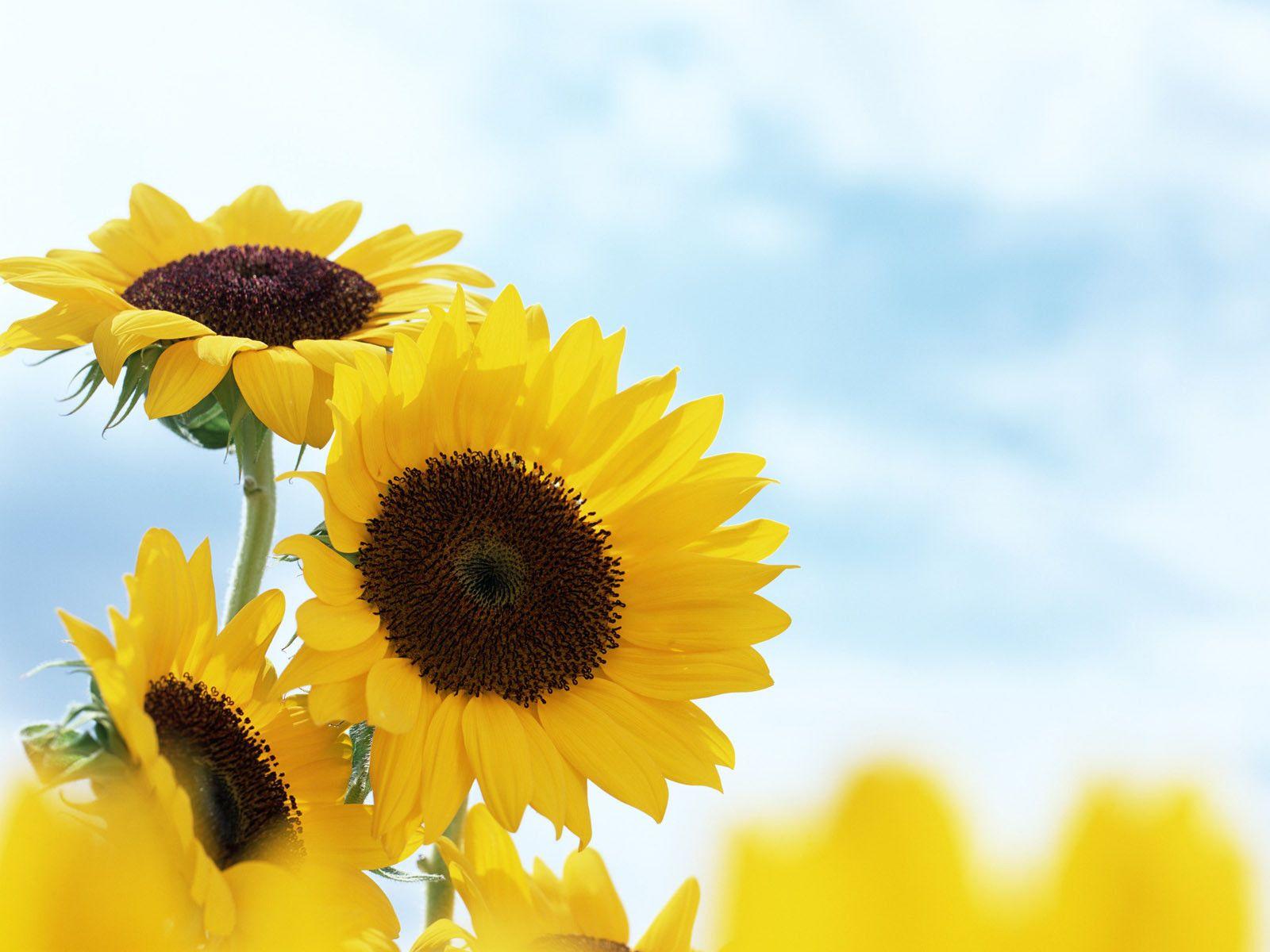 Wallpaper Foto Dan Gambar Bunga Cantik Untuk Laptop Bunga