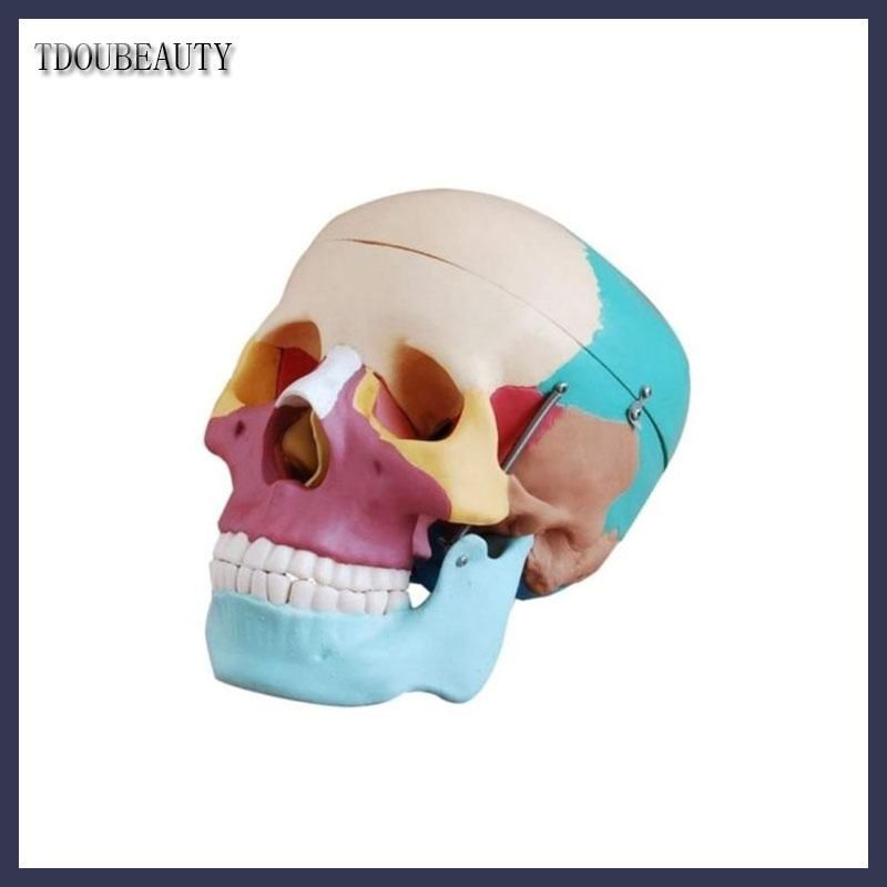 Tdoubeauty Esqueleto Anatomia Human Skull Anatomical Anatomy
