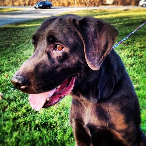 Coco Adult Male Chocolate Labrador Retriever For Adoption In