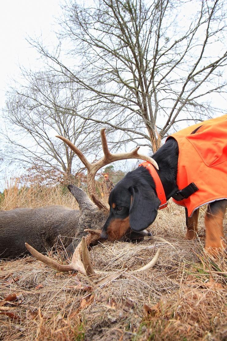 5 Traits Of A Good Blood Trailing Deer Dog Dog Training Dogs Deer