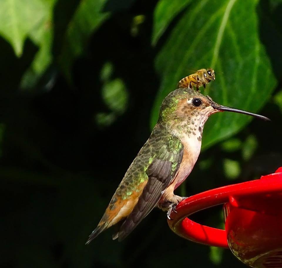 Colibríabeja Huellas de animales, Abejas, Picaflores