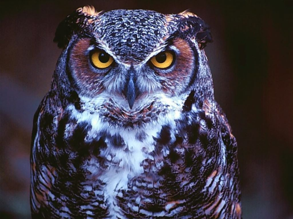 Eyes Owl Wallpaper HD wallpapers Eyes Owl Wallpaper