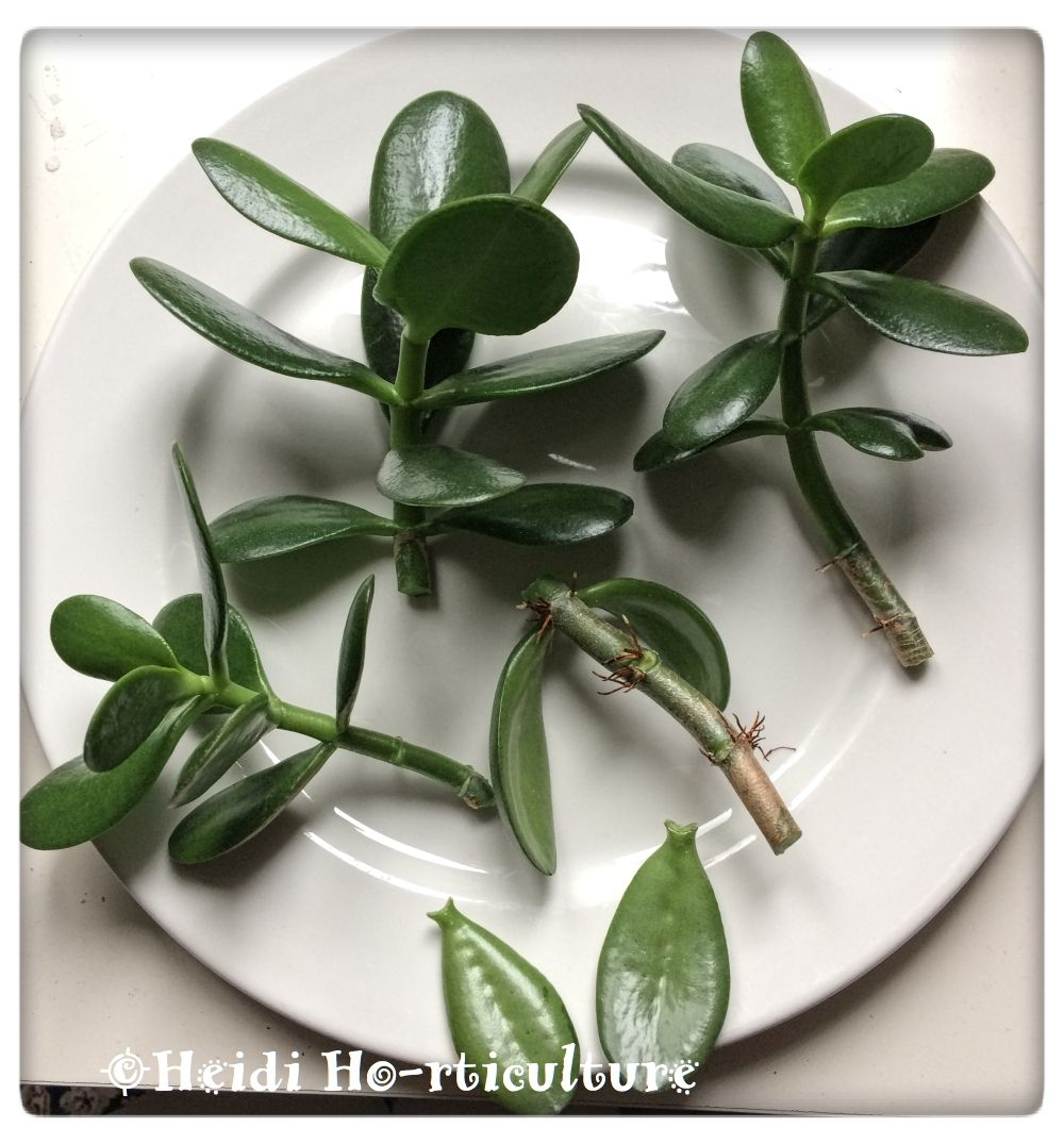 With Spring Coming Around The Corner I Need To Get Some House Plant Duties Done Three Years Ago I Rescued A J Jade Plants Jade Plant Care Jade Plant Pruning
