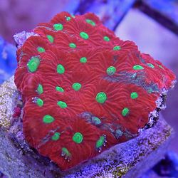 Pin On Corals For Tank