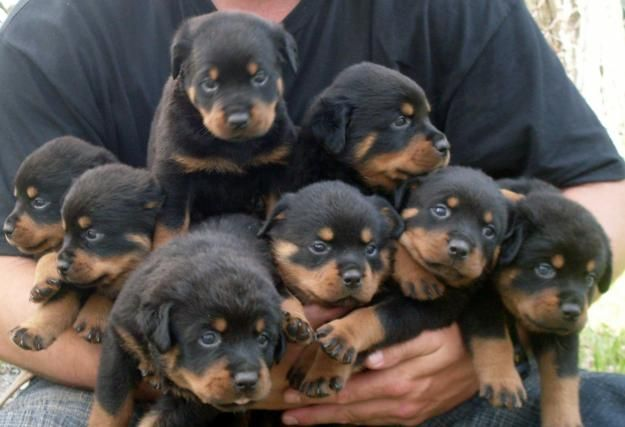 Rotti Pups Need One They Grow Up So Fast Seems They Are 8 Weeks Old And Then You Wake Up Are They Are 8 Months With Images Rottweiler Dog Rottweiler Puppies Dog Breeds