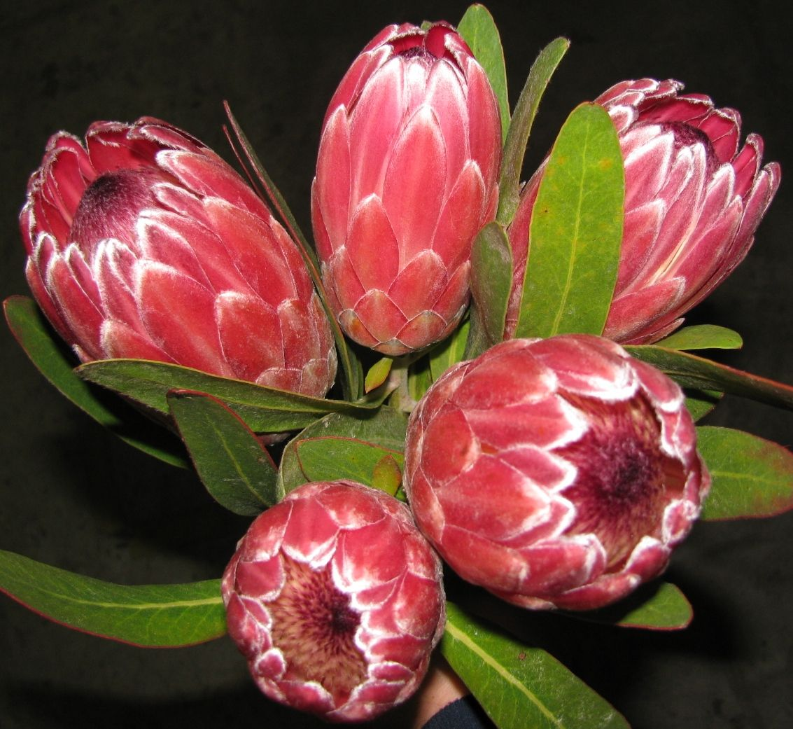 Protea Pink Ice Protea South Africa Pinterest Flowers South