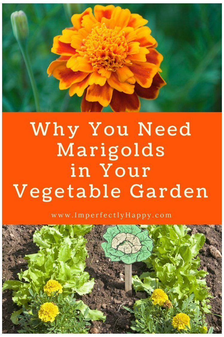 Marigolds in the Vegetable Garden 6 Important Things They Do Marigolds in the vegetable garden, the top 6 reasons you should be planting marigolds in the vegetable garden for amazing benefits.