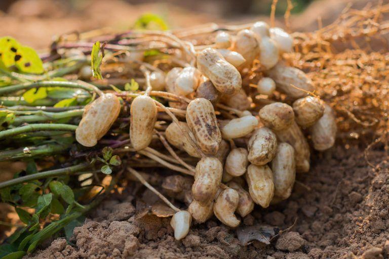 Erdnuss Pflanzen Selber Ziehen Erdnusse In Deutschland Anbauen In 2020 Erdnuss Fruchte Und Gemuse Erbsen Pflanzen